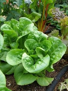 Which veggies for which season? Lettuce and chard grow well in spring and fall. Click here for full list by season