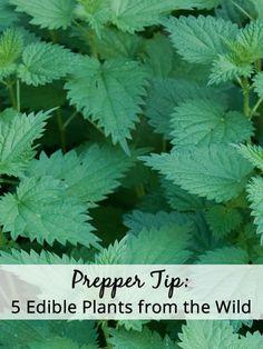 Supplement your garden veggies with these invasive wild plants! Image Credit: Martyn E. Jones