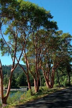 Arbutus Tree, Strawberry Tree, Google Search, Plants, Arbutus Unedo, Plant, Planets