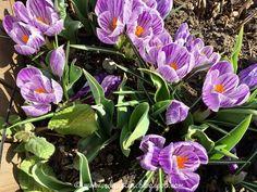 Gestreifte Krokus - im Focus 2 Plants, Daffodils, Natural Garden, Shade Perennials, Tulips, Hobbies, Plant, Planets