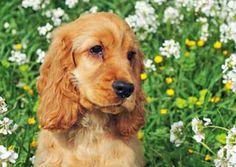 Golden cocker spaniel puppy sitting in field of wild flowers