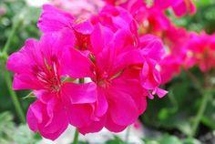 Geranium Neon Pink  Spring trial gardens