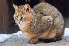 The Chausie is another cat that was created by mixing domestic felines with their wild cousins. This is a very rare breed that costs a very pretty penny to own, but their beauty is enough to tempt anyone. Chausie's have an average weight of 15-20 pounds.