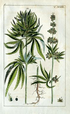 Instant Download Cannabis Hemp Green Brown Botanical Weed You Print Digital Image