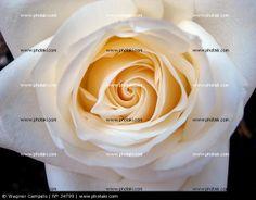 http://www.photaki.com/picture-swirl-of-white-rose_34799.htm
