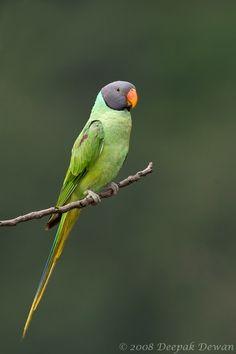 Slaty-Headed Parakeet (Psittacula himalayana) .
