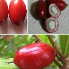 Jual Pohon Buah Miracle Fruit (Buah Ajaib) - Tin dan Zaitun   Tokopedia