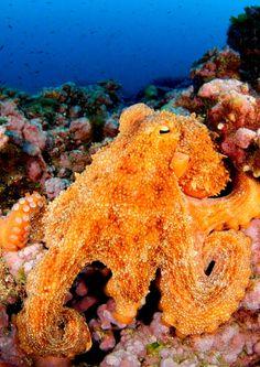 Photos: Happy Cephalopod Week! | The Beacon: Oceana's Blog