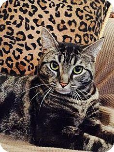 Staten Island, NY - Domestic Shorthair. Meet Lyndsey, a cat for adoption. http://www.adoptapet.com/pet/11042021-staten-island-new-york-cat