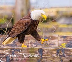 Strolling around by Evan Spellman on YouPic Bald Eagles, River, Bird, Animals, Animales, Animaux, Birds, Animal, Animais