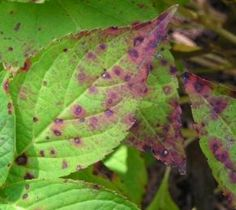 Common Problems With Hydrangea Leaves Hydrangea Care, Hydrangea Not Blooming, Hydrangea Flower, Hydrangeas, Oakleaf Hydrangea Landscape, Hydrangea Landscaping, Yard Landscaping, Hydrangea Diseases, Gardens