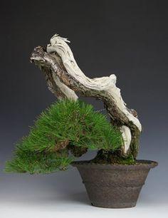 red pine / bonsaibark.com