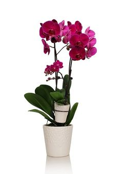 What a delightful pair of purple orchids! Why choose one orchid when you could have two?