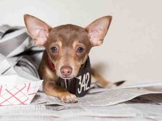02/13/15-HOUSTON - THIS BABY BOY NEEDS YOU TO GIVE HIM A NEW HOME TODAY - HIS TIME IS ALMOST UP - PLEASE BE HIS MIRACLE-This DOG - ID#A424329 I am a male, brown and tan Chihuahua - Smooth Coated. The shelter staff think I am about 5 months old. I have been at the shelter since Feb 06, 2015.