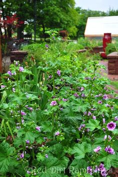 Malva Zebrina has small purple flowers and is perennial in my garden.