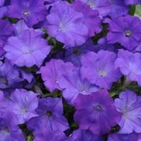 39 varieties of trailing petunia seeds for sale. Use as ground cover, in containers or hanging baskets. Small Flowers, Love Flowers, Purple Flowers, Beautiful Flowers, Trailing Petunias, Purple Petunias, Flower Seeds, Flower Pots, Easy Waves