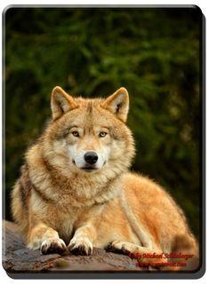 Batu - Mongolischer Wolf