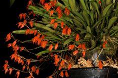 Orchid: Specklinia lanceola - Flickr - Photo Sharing!