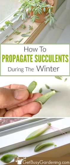 If you think summer is the only time you can propagate succulent cuttings I have great news for you I found an easy trick that makes propagating succulents in the winter. Transplant Succulents, Replanting Succulents, Succulent Cuttings, Growing Succulents, Succulent Care, Succulent Gardening, Cacti And Succulents, Plant Propagation, Succulent Ideas