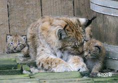 Naissances chez les lynx