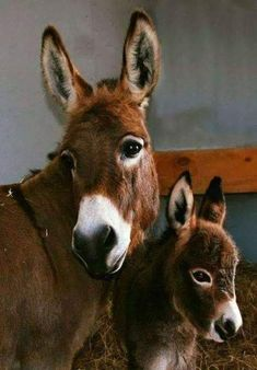 Baby Learn Farm Animals Names and Sounds With Funny Cartoon Characters gorgeous CM Billie Jo Spears with her foal CC Bobbette. Clovercrest Miniature Donkey Stud too cute… Cute Baby Animals, Farm Animals, Animals And Pets, Funny Animals, Baby Donkey, Cute Donkey, Mini Donkey, Mini Pigs, Beautiful Horses