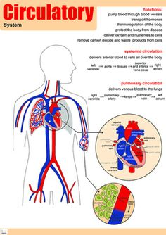 """This Poster belongs to a series of Posters about several organ systems.They all have the constitution of each System along with their function and the explanation of some of their unique characteristics.They can be printed and used to decorate your classroom.They were designed with the following size in mind:Size: 11,7"""" in."""