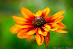 Nature Photography  Rudbeckia or by SoulCenteredPhotoart on Etsy, $22.00