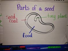 Parts of a seed anchor chart , kindergarten plant unit Parts Of A Seed, Parts Of A Plant, Kindergarten Anchor Charts, Homeschool Kindergarten, The Tiny Seed, 1st Grade Science, Student Teaching, Classroom Themes, Science Projects