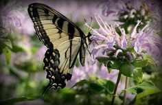Yellow Swallowtail on Bee Balm Wildflower in the Prairie area at Cantigny Gardens , Wheaton, IL