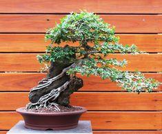 Seiju elm bonsai tree - Bing Images