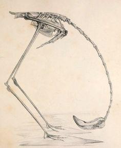 Flaming karmazynowy /Phœnicopterus ruber/ (Eyton 1858)