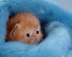 kitten in blue