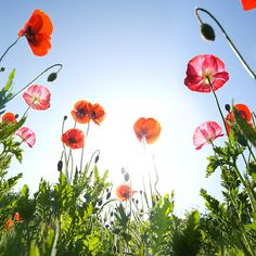 Love poppies