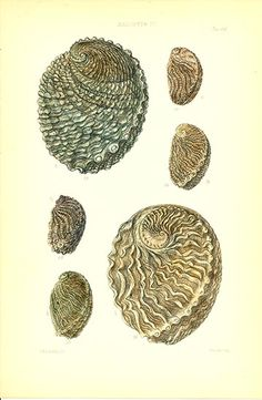 Antique print: picture of Abalone (Haliotis) Shells - Haliotis IV