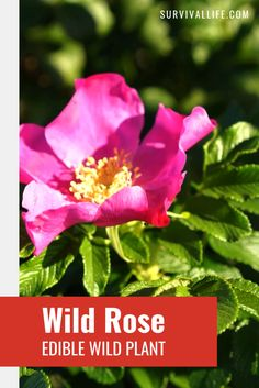 The wild is a garden of free edibles waiting to be harvested as long as you know what to go for. Wild rose is a rich source of vitamins A and C. Read on to know other wild plants you can eat for survival. #wildrose #ediblewildplants #edibleplants #foraging #survivalfood #survival #preparedness #survivallife Doomsday Survival, Survival Life, Survival Food, Wilderness Survival, Outdoor Survival, Survival Prepping, Sources Of Vitamin A, Edible Wild Plants, Edible Flowers
