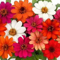 Zinnia Profusion Sunrise Mix    250 seeds  Need More Ask