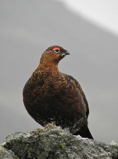 """Throaty exclamation signals a territorial male red grouse. It bursts into the air, stalls, then parachutes down, tail spread and wings whirring, before bowing, tail fanned and wings drooped."" 52 Wildlife Weekends www.bradtguides.com"