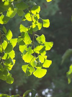 Ginko leaves backlit by the sun. Arnold Arboretum, Boston, Massachusetts.     See the best   installations in     Manhattan at https://www.artexperiencenyc.com