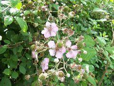 Shrub - Rubus fruticosus - Blackberry- Summer
