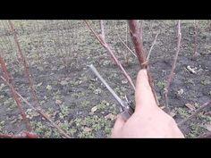 Fruit Trees, Grape Vines, Garden Tools, Youtube, Gardening, Plant, Life, Vineyard Vines, Garten