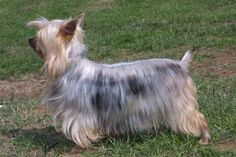 The Silky Terrier originated in Australia within the when breeders crossed imported Yorkshire Terriers with their native Australian Terriers. Akc Dog Breeds, Terrier Dog Breeds, Airedale Terrier, Terrier Puppies, Silky Terrier, Yorkshire Terriers, Australian Terrier, Funny Dog Photos, Different Dogs