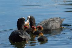 Adult Coots feeding their young Ducklings on a lake at Roundhay Park,Leeds,West Yorkshire,England.Great #photography © Steve Gill from @photocrowd