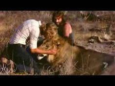 A Lion Called Christian (Full Documentary) -- In 1969 Christian the lion was adopted by 2 brothers. But when he became too big to care for, they reintroduced Christian to the wild in Africa. They returned a year later and were told that Christian was now the head of a pride and was unlikely to remember them. After many hours of looking for the pride, the brothers found Christian, and the greeting that Christian gave them is one of the most spectacular and heartwarming moments I've ever seen.