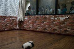 Visitantes observan a uno de los gemelos en el Centro de Investigación Chengdu.