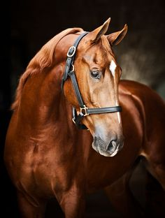 Appelsdam Duke's Fancy Guy is an American Saddlebred stallion that makes his home at the incredible Cavalli Estate in South Africa.