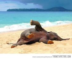 Baby elephant playing on the beach