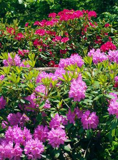 Rhododendron in bloom in the Great Smoky Mountains National Park, when Spring has arrived.