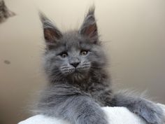 You can just look at this bad boy and tell he's going to be huge - Maine coon -