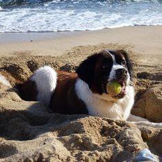 Saint bernard pup enjoying a day at the beach
