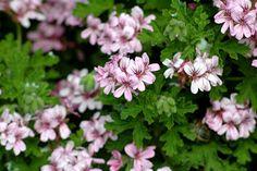 """Malva rosa. El Blog de Flores Hans: Plantas para el Verano I: Pelargonium graveolens """"Citrosa"""" - El espanta mosquitos"""